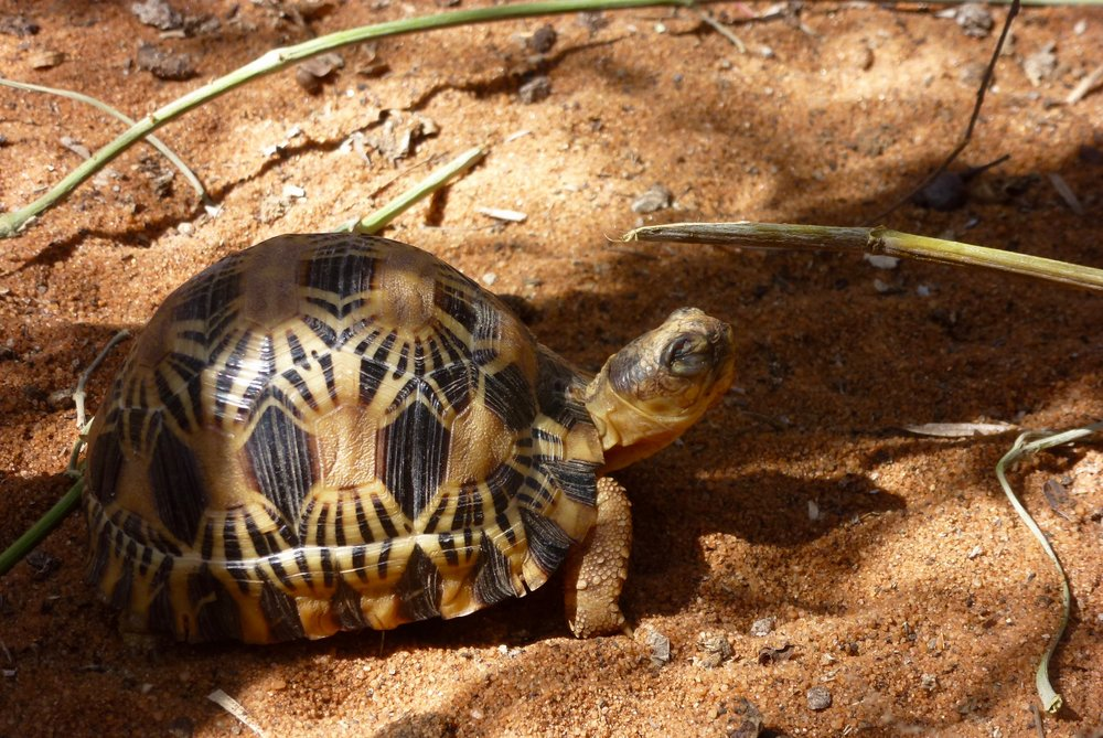 Captive breeding results:Baby tortoise napping in the sun.
