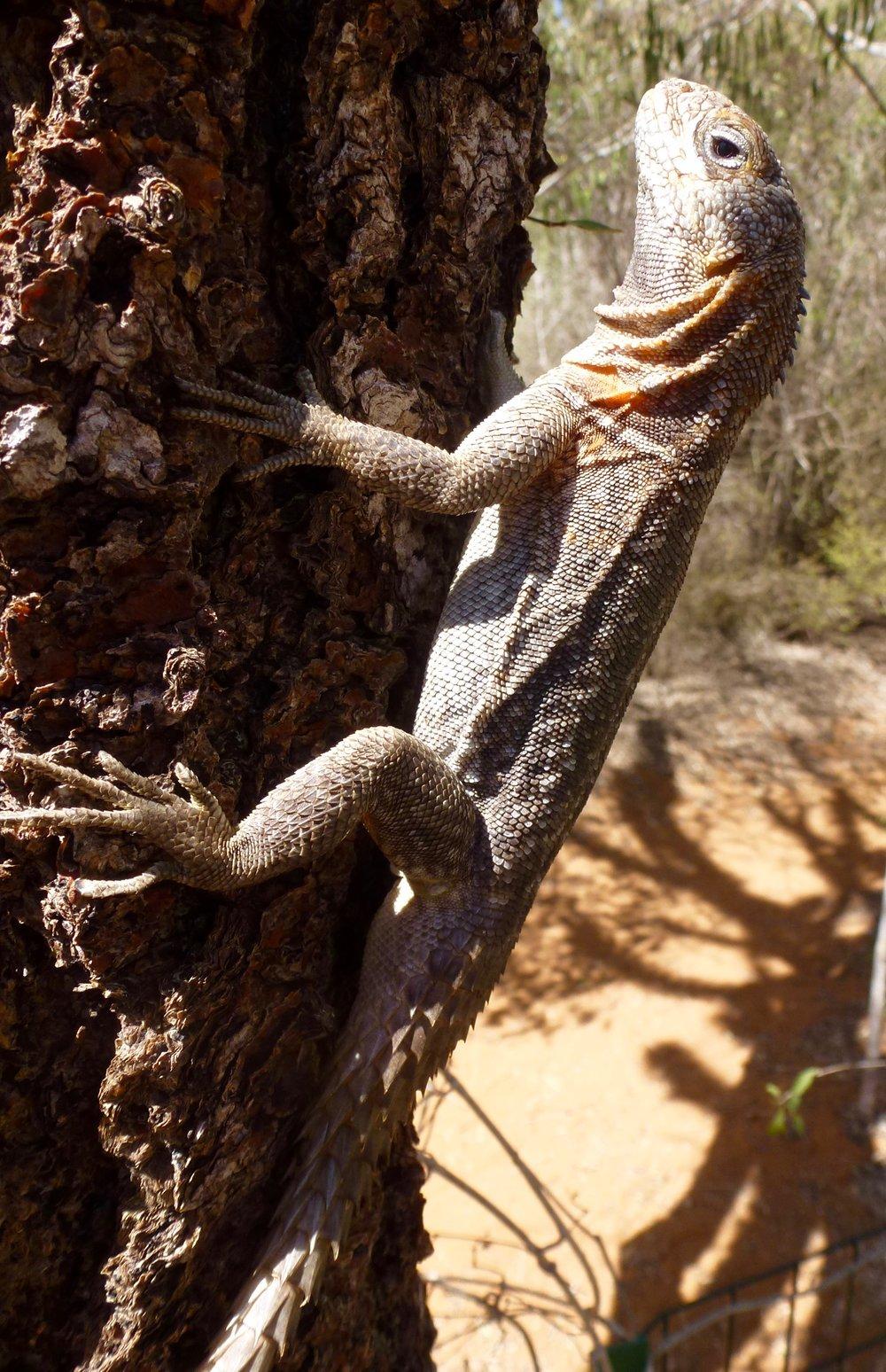 Spiny tail iguana, O plurus cyclurus.