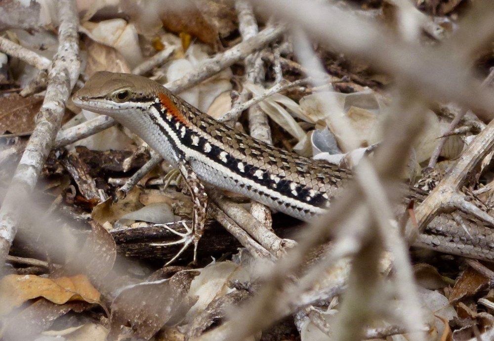 Elegant Mabuyas,Trachylepis elegans.