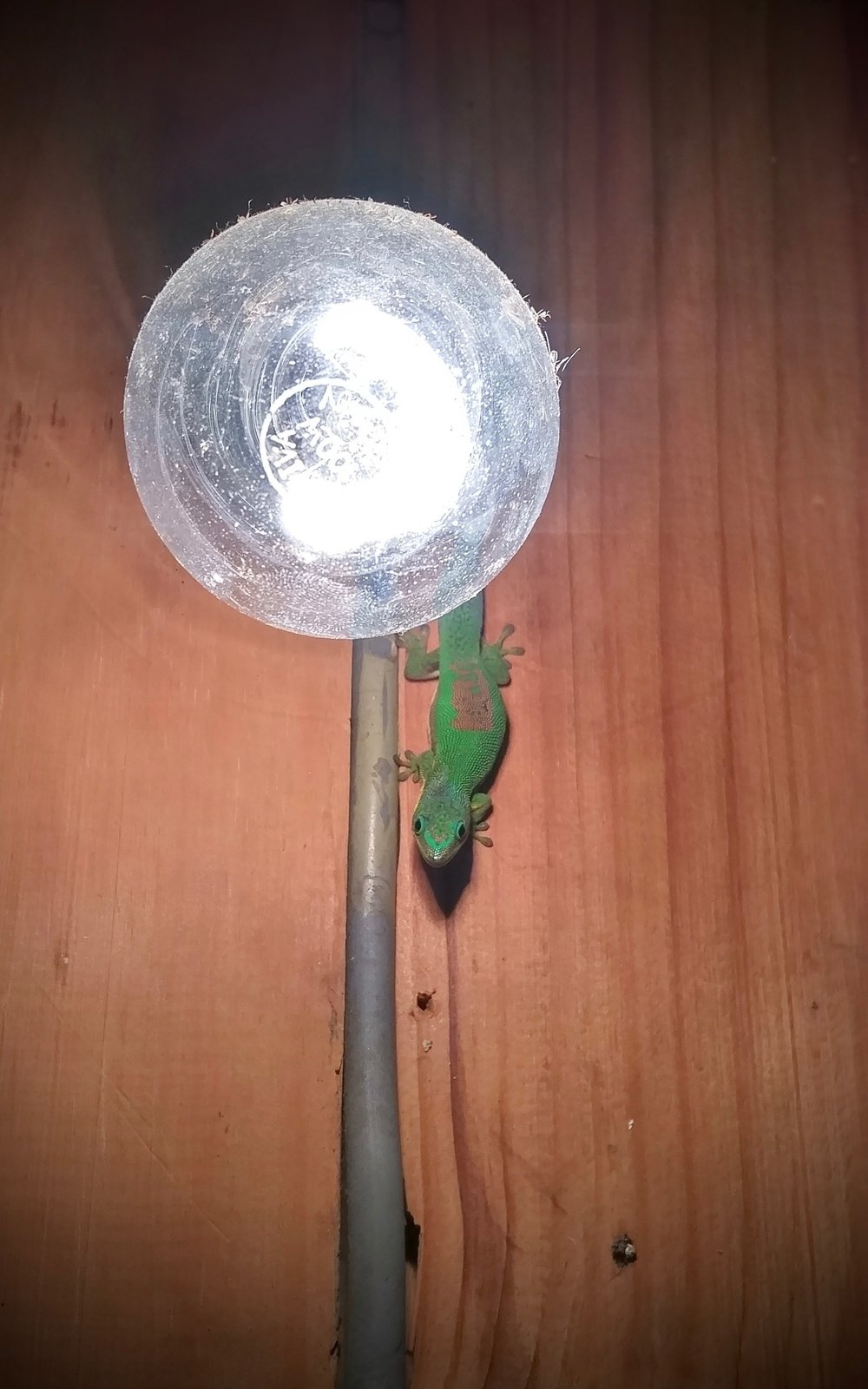 "Lined Day Gecko (Phelsuma lineata) in it's new ""natural"" environment, the bathroom. Ranomafana."