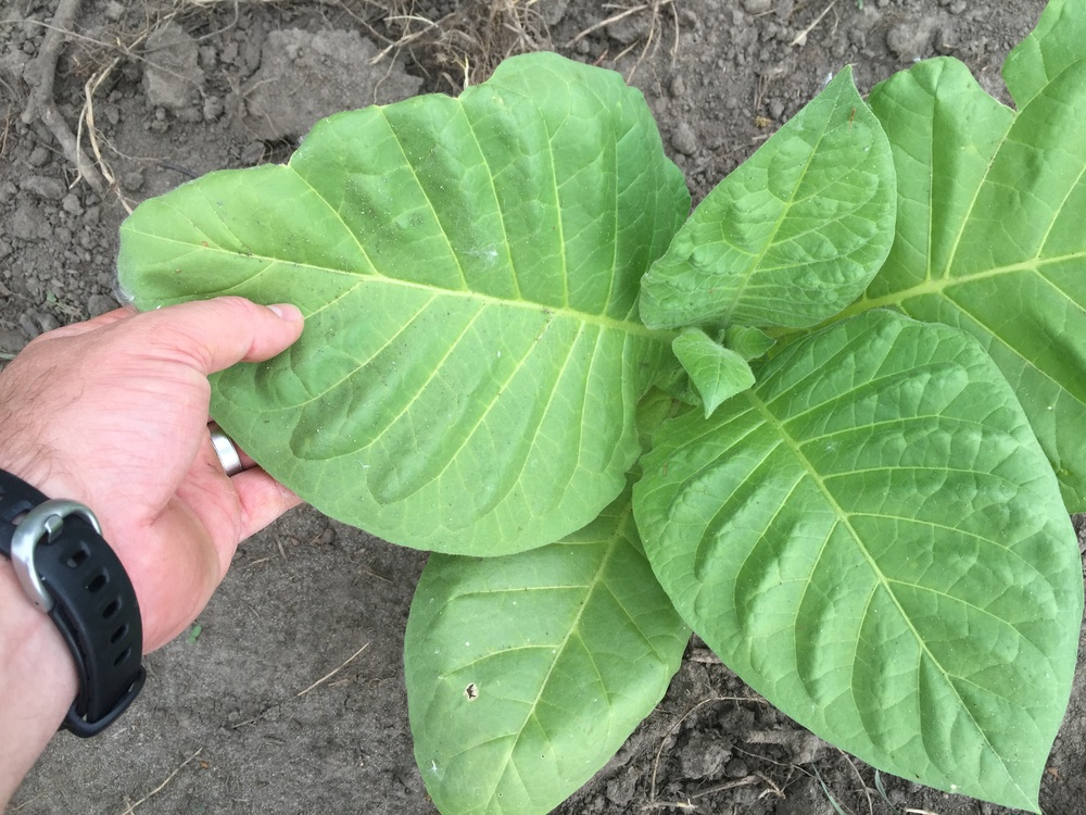 Tobacco whole leaf