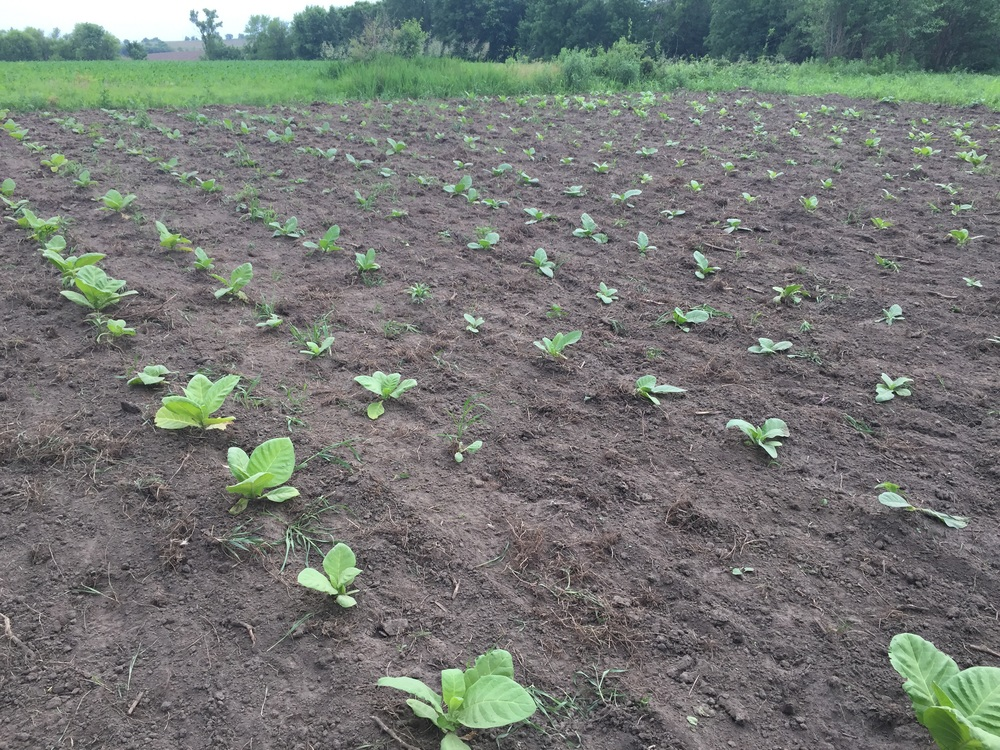 Hand weeded and planted 2016 whole leaf tobacco.