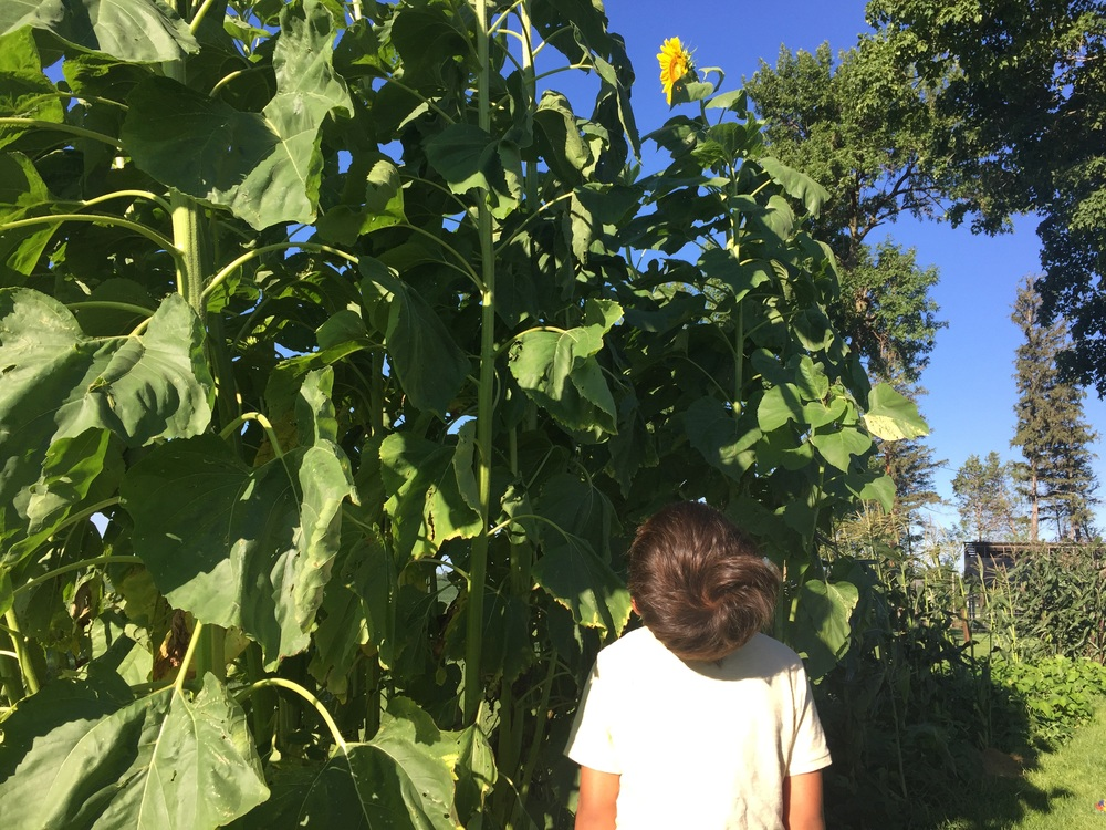 Bently looking up at his first sunflower.