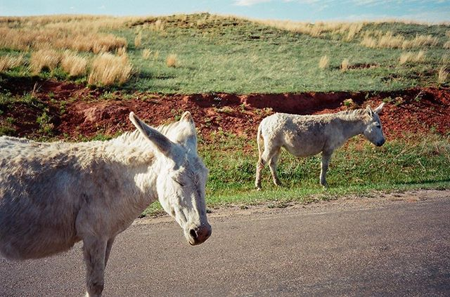 great white burros!  #southdakota #hifromsd #35mm #filmisnotdead