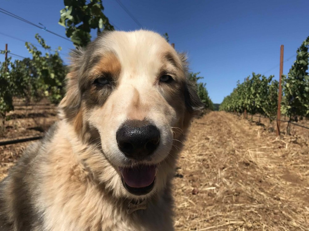 Dirty Vineyard Dog.jpg