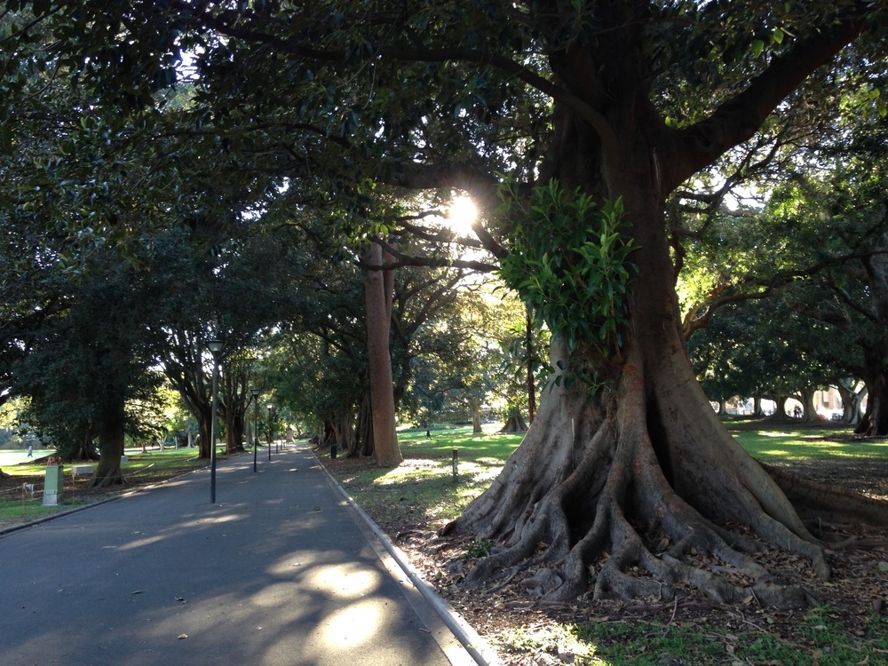 Magnificent Moreton Bay figs lining the paths towards the Art Gallery NSW, this morning before the Forum.  Thank goodness these trees are (hopefully) safe from 'development', unlike their poor counterparts along Anzac Parade/Moore Park.