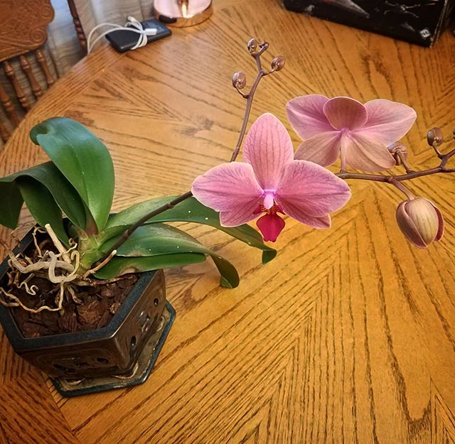 Well after a year, it started to #bloom #orchid #success we have had them before but never got them to #flower