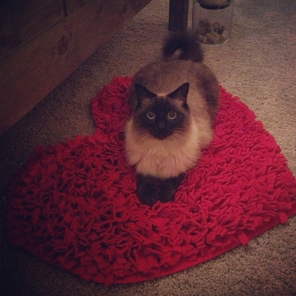 King Louis on the heart rug. #siamese #ragdoll #kinglouis #wellhungheart #catlove #valentine #heart #cats #catsarepeopletoo