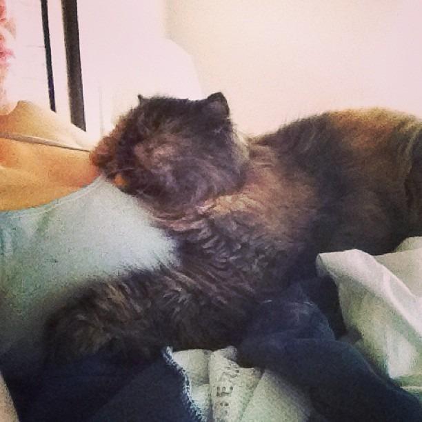 She loves me. #annie #catlove #catsloveboobs #persian #humancat #anastasiaweblosmaximusthefirst #fluffycat #rockstarmornings