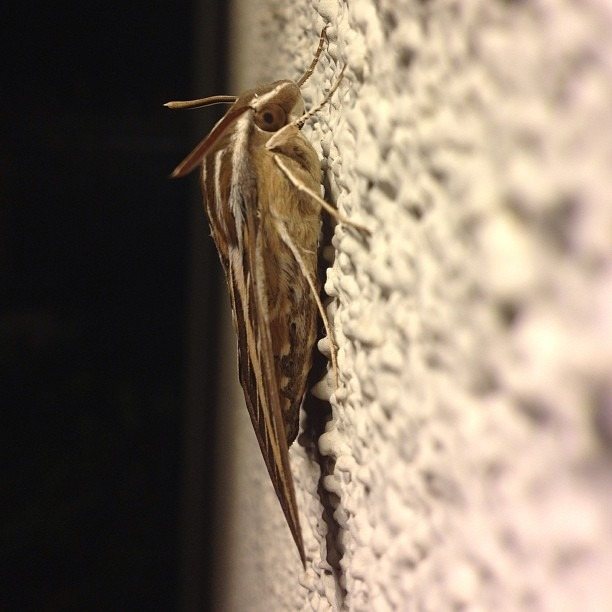 Coolest Moth Ever. #moth #bestever #insects #thingswithwings #californiawildlife #wildlife
