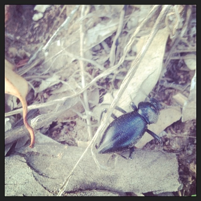 A friend we found in Santiago Canyon and the new star of our upcoming video. #beetle #blackbeetle @wellhungheart