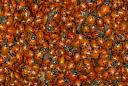 ladybugs in mass