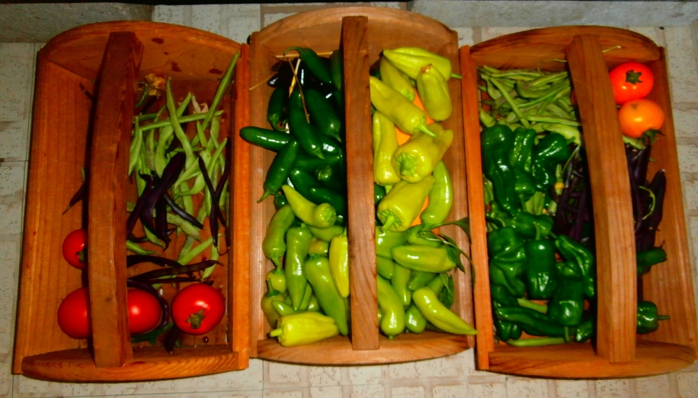 Lots of peppers and beans today