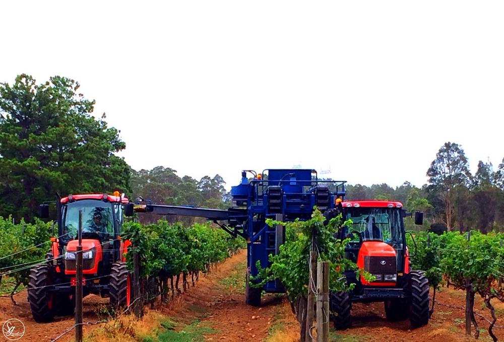 Hunter Valley Vintage, Harvest, grape picking