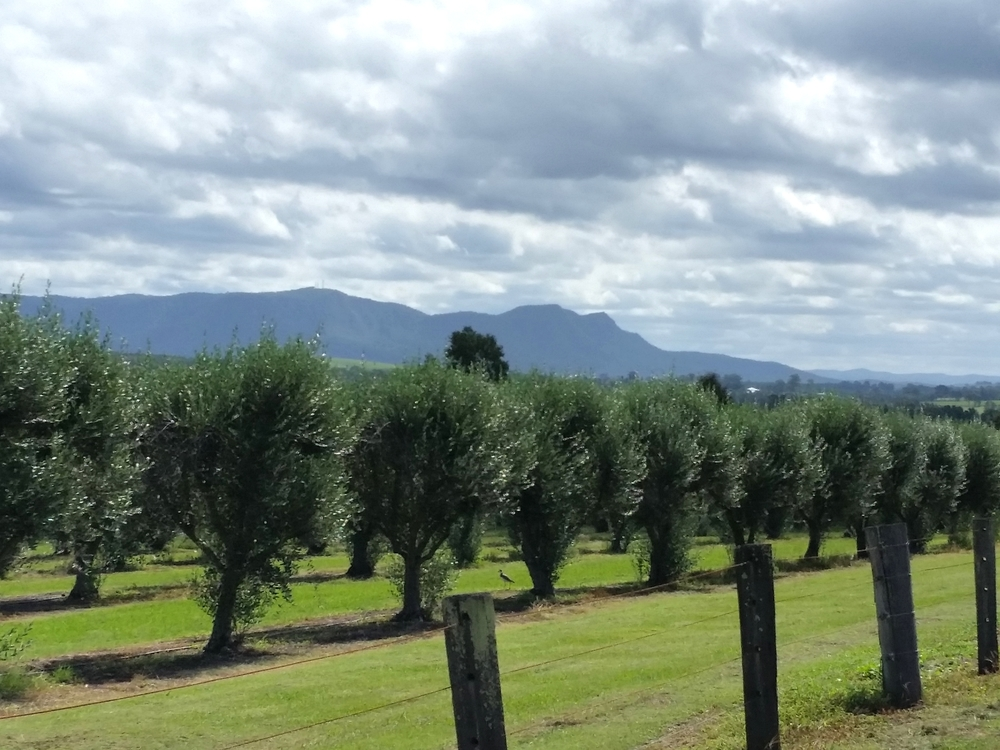 Olive Groves - Hunter Valley Produce