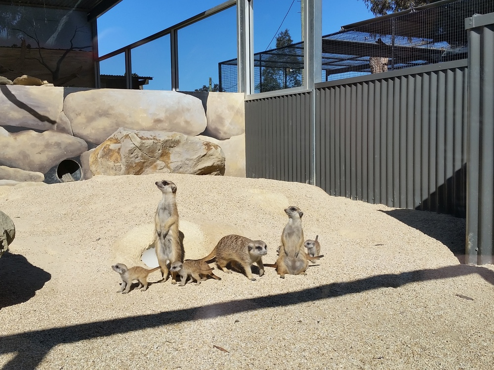 Meerkats (with their babies) at Hunter Valley Zoo