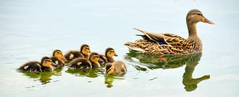 mallard-ducks-934518_1280.jpg