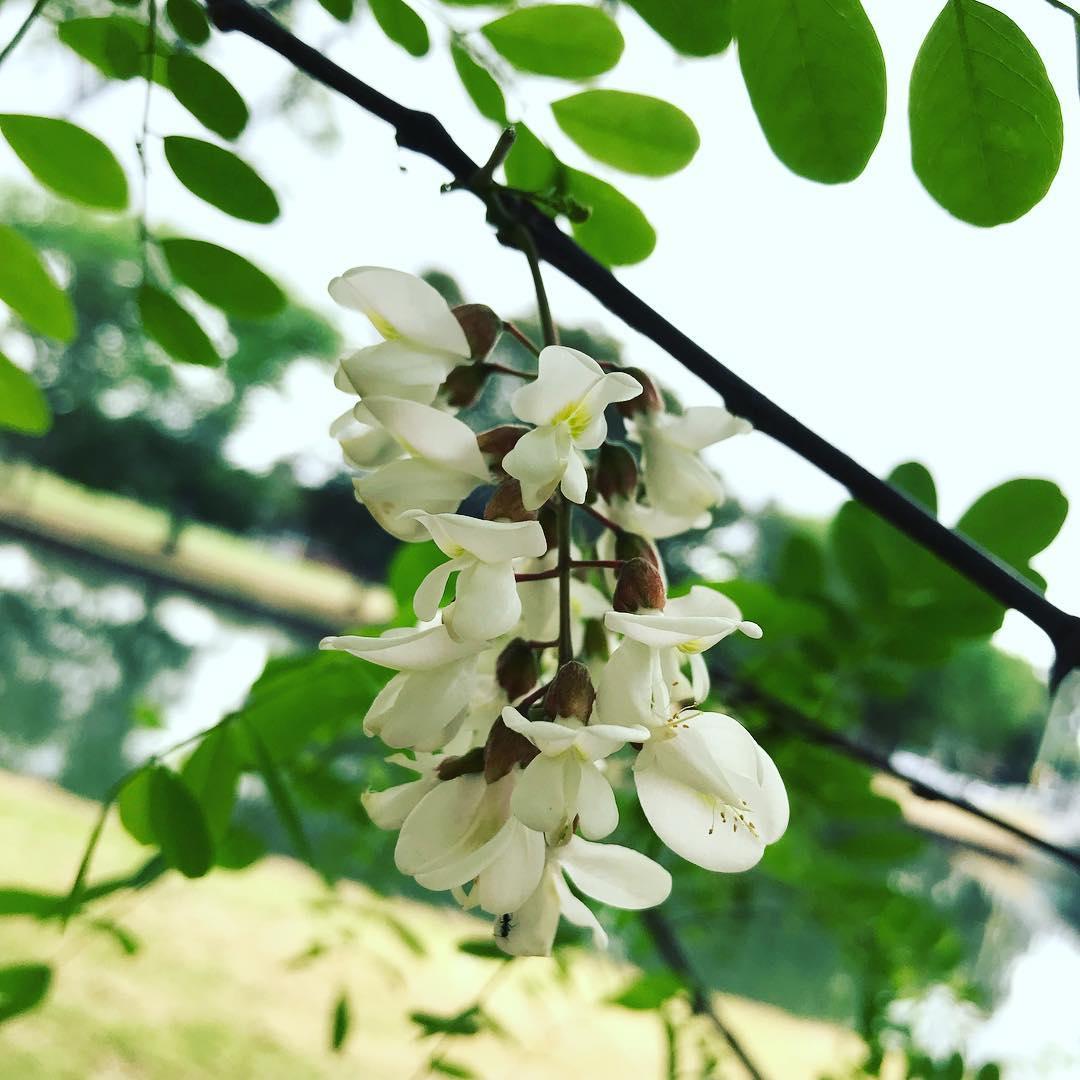 In Season Now Robinia Flowers Wild Plants Foraging Food Art
