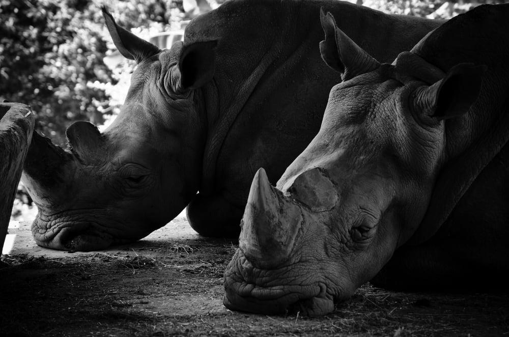 Rinocerontes Zoològico de Pereira