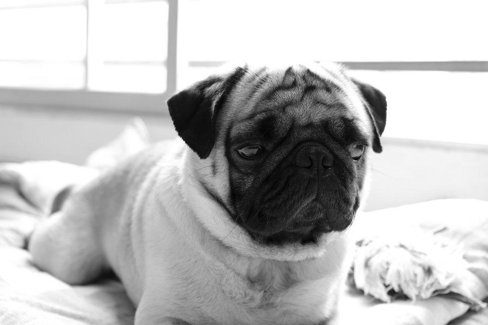 Paco dog model