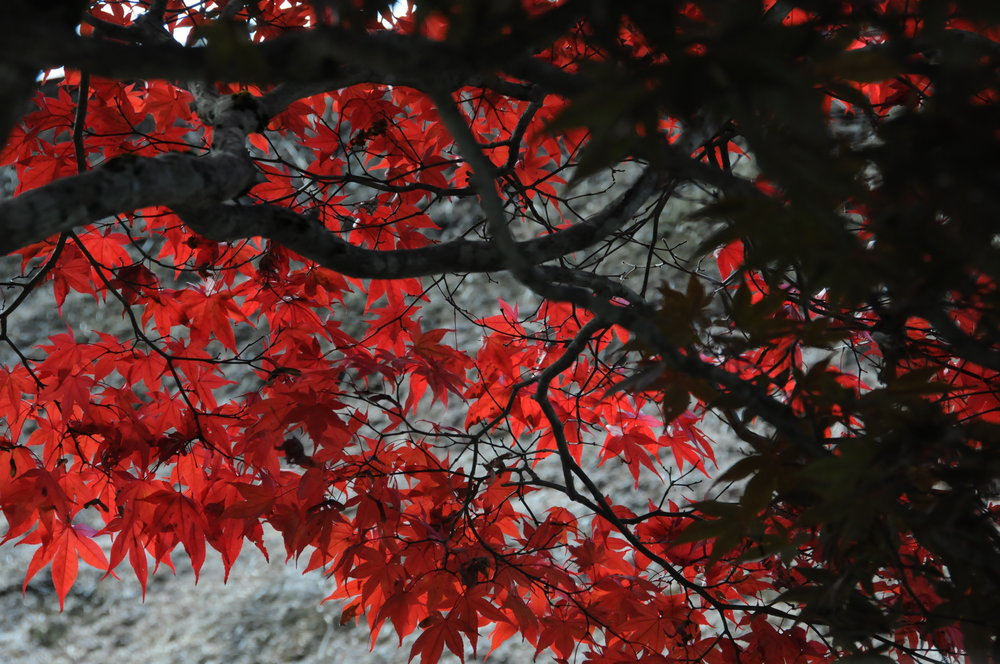 autumn leaves RED.JPG