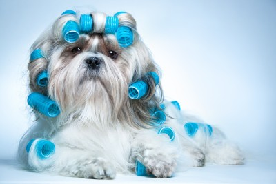 shihtzu-with-curlers.jpg