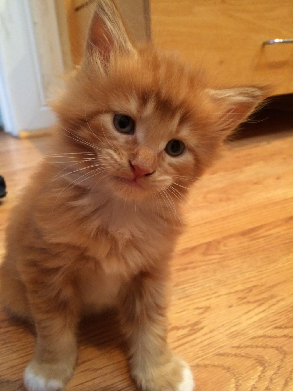 Meet Rowan (as a kitten), the Maine Coon