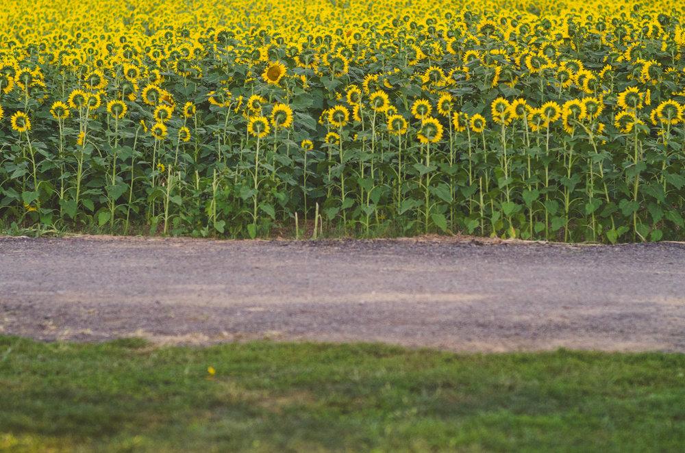 Sunflower-91.jpg