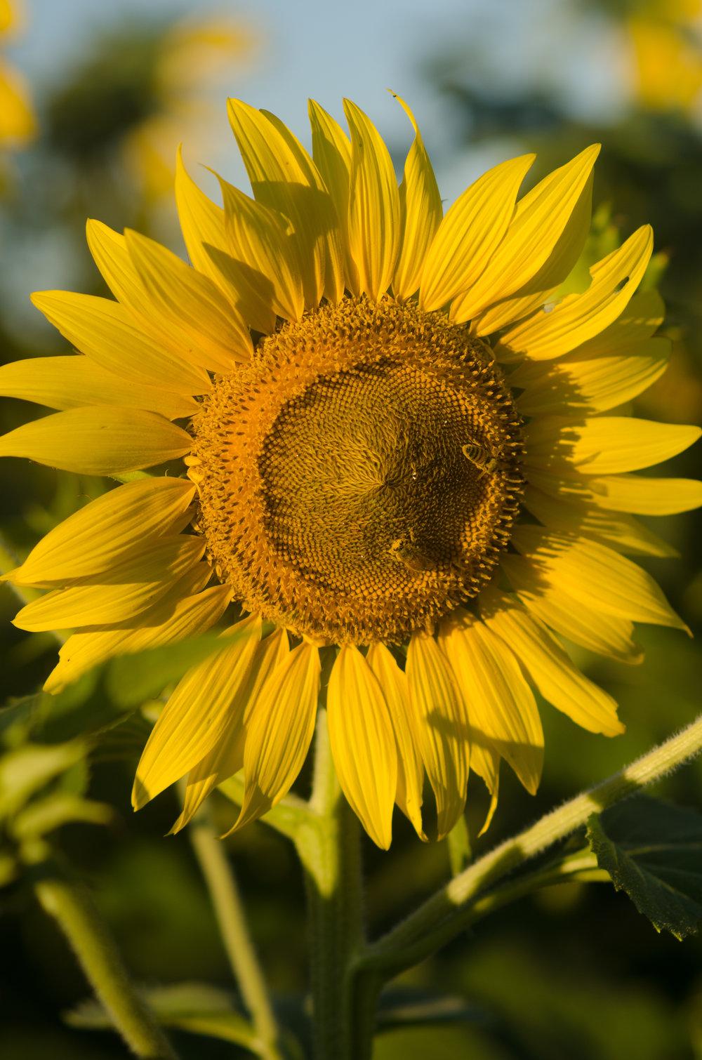 Sunflower-58.jpg