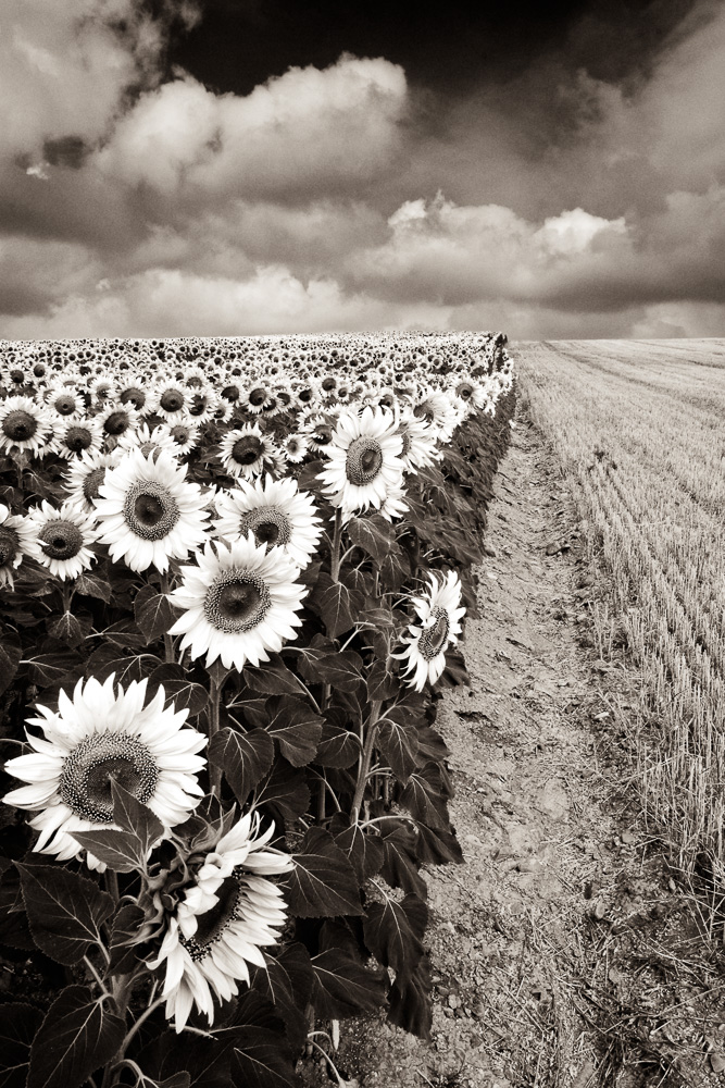 """Sunflower Field"" Spain, 20015"