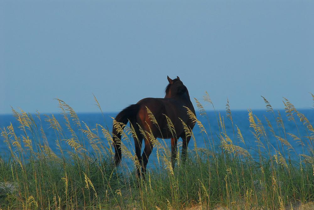 """Wild Horse"", Corova, NC, 2008"