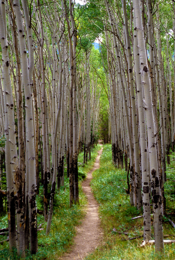 Aspens along the Colorado Trail, 2001