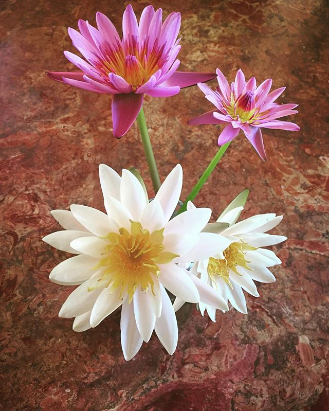 I wish you could smell these.  #waterlily  #lotusflower  #gscout @cheyennejagger  #energyhealingwork #Ineededthat