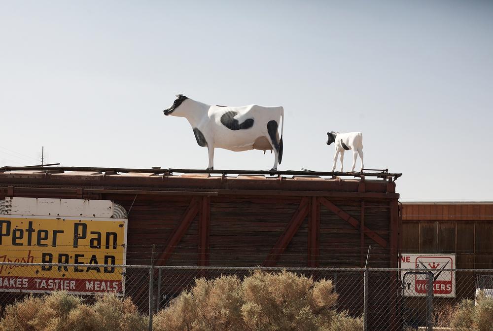 Kehoe_Cows