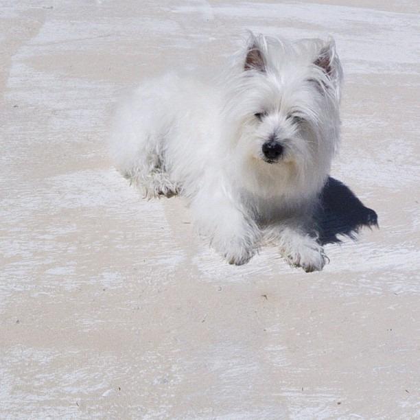 #bestfurryfriend #leelee #westie #camouflage #whiteonwhite   (Taken with  Instagram )