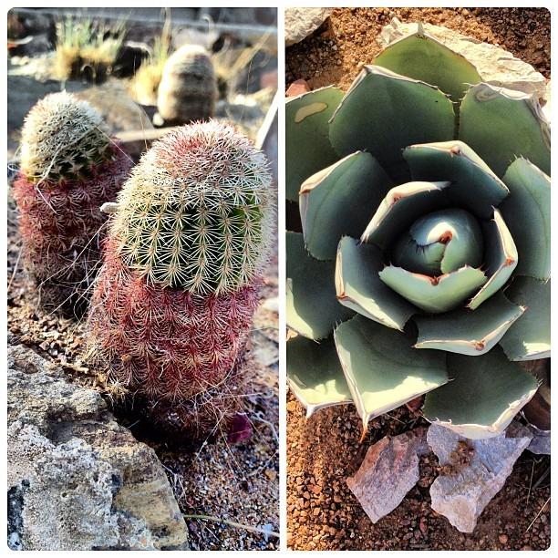 #Chihuahuan #Botanical #Desert #Gardens #leftbrain #rightbrain #male/female #plants #sexy #spiky #diptic #desertlove