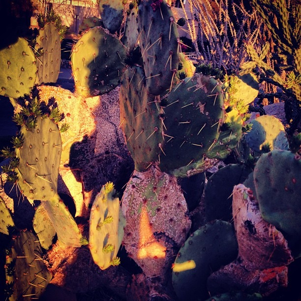 @sistaeyerie 's #sunset #shadow on the #nopales @the #chihuahuan #desert #gaeden