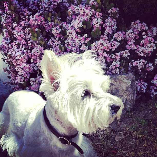 #theleelee is excited to have #endless #flowers to #smell #stopandsmelltheroses #westie #sunnywalk