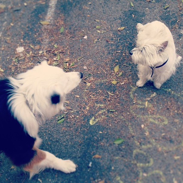 #makingfriends #guarding the #spraypaint #westie #love #instafriend