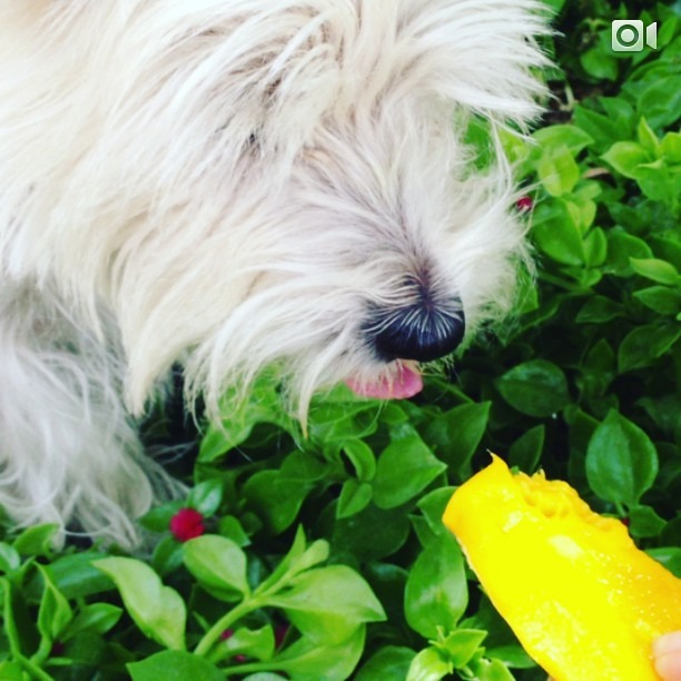 #Leelee's #favorite #fruit #mango she will leave the #pit #meatless #raw #fruits & #veggies for our #furryfriends #westies #love #summergram