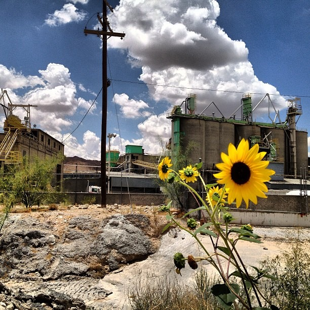 #wild #sunflowers on a canal of the #riogrande in #chucs #clouds not #smoke #nofilter #alllove