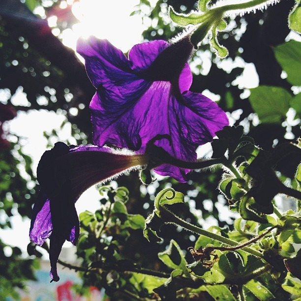 #flowerchild #love #morning #sun #petuñas still #alive #potd #purple #flower