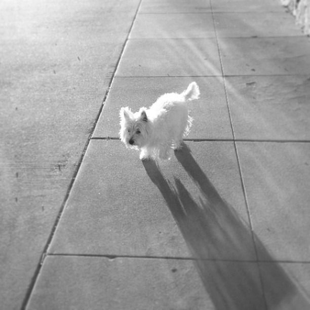 #love #leelee the #friendly #ghost #halloween #walk #westie #paparazzi #sideeye #westiesarethebesties #photooftheday @westiegram