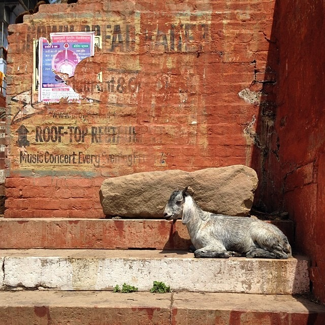 #varanasi #morning #sun #goat #chilling bc it's #toohot #gangesriver #resident #india #travel #love