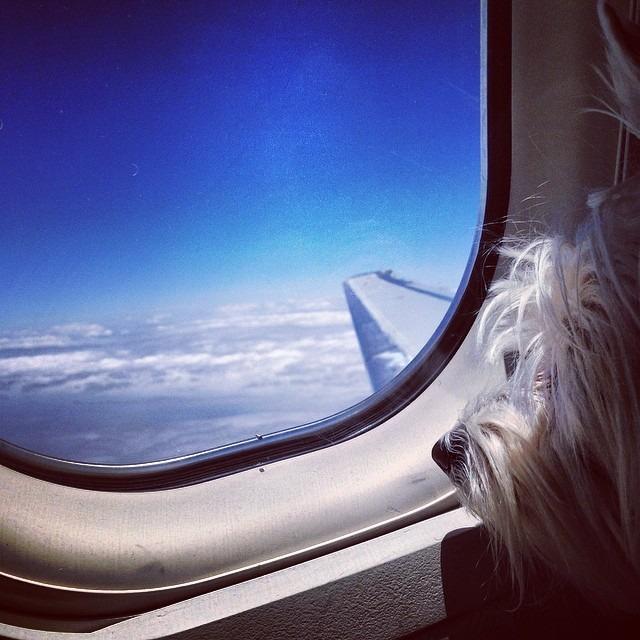 #leelee #flyinghigh #abovetheclouds #familygetaway #travel #skyhigh #westiesarethebesties #westie @westiegram