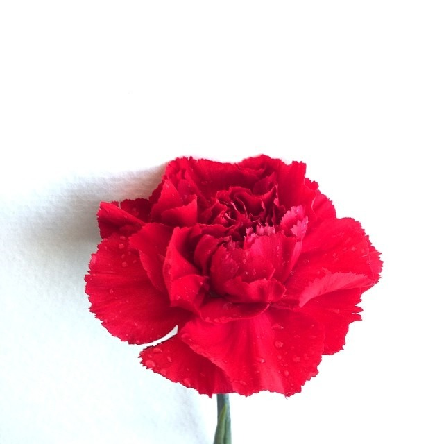 #carnations #studio #lighting #love #red #flower #carnal #flow