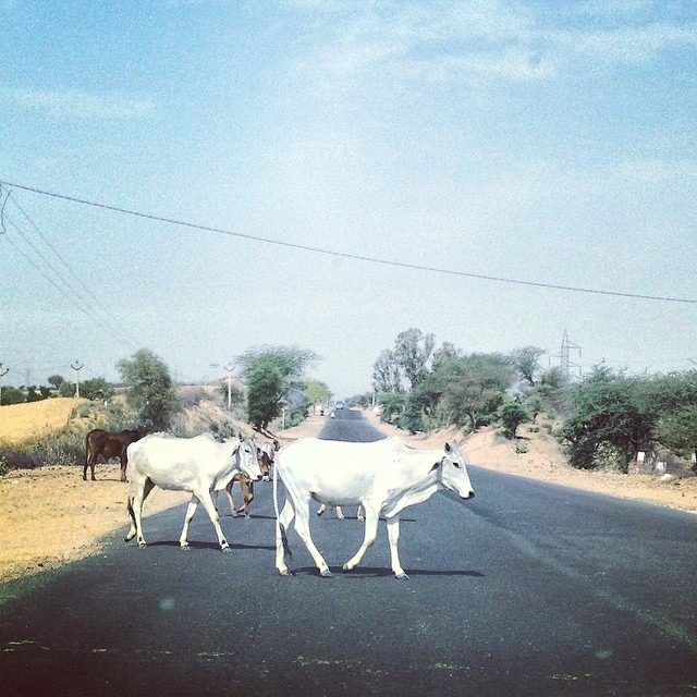 #whorunsthisworld? #Cows here in #india even if they cross your path 100xs u stop everysingletime #longjourney #Devi #Aditi #hinduism #deity