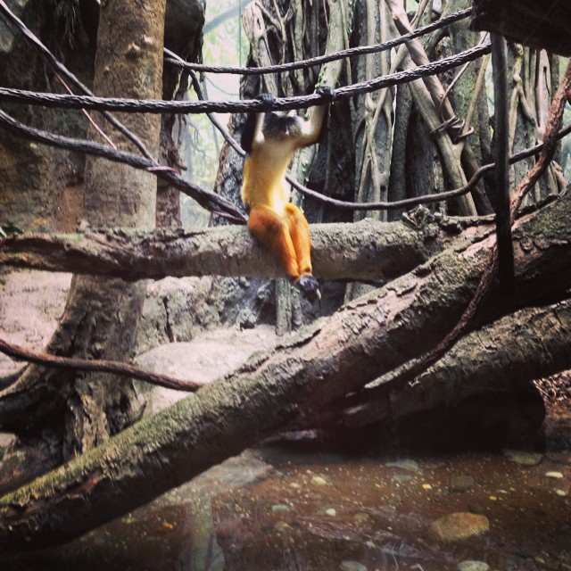 #swinging #monkeylove #furpants #chilling @bronxzoo #jungle #adventure