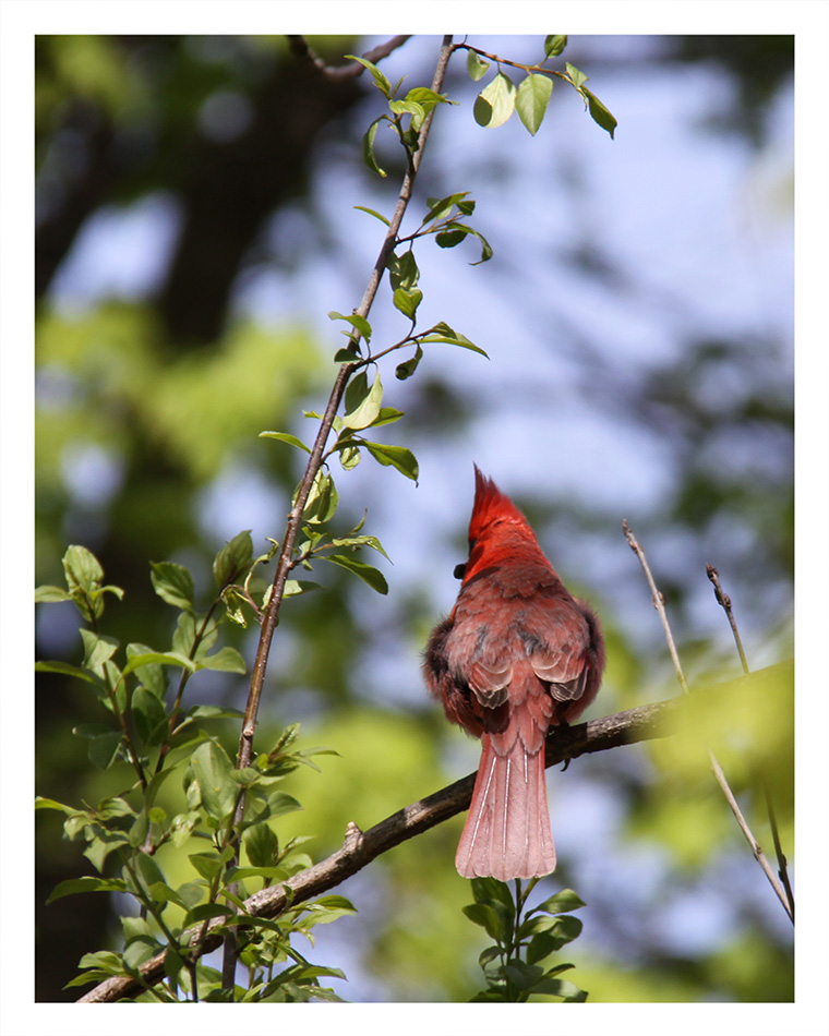 The Cardinal  © Bill Blansett; Our Colleagues