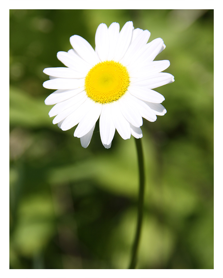 Daisy  © Bill Blansett; Our Colleagues